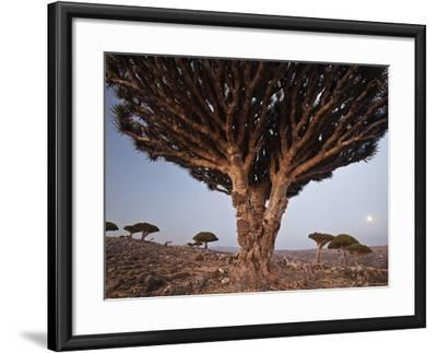 The Diksam Plateau, Where Dragon's Blood Trees Grow in Scattered Groves-Michael Melford-Framed Photographic Print