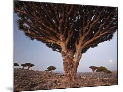 The Diksam Plateau, Where Dragon's Blood Trees Grow in Scattered Groves-Michael Melford-Mounted Photographic Print