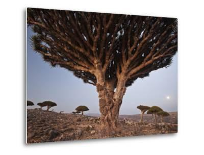 The Diksam Plateau, Where Dragon's Blood Trees Grow in Scattered Groves-Michael Melford-Metal Print