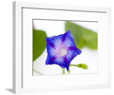 A Morning Glory Flower-Joel Sartore-Framed Photographic Print