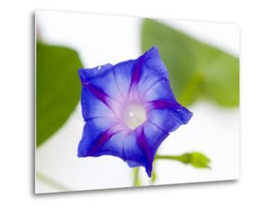A Morning Glory Flower-Joel Sartore-Metal Print