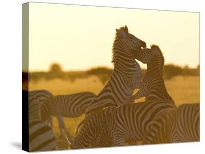 Burchell's Zebras, Equus Bruchelli, Grazing and Fighting-Roy Toft-Stretched Canvas Print
