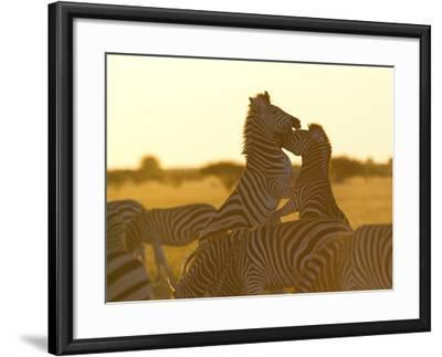 Burchell's Zebras, Equus Bruchelli, Grazing and Fighting-Roy Toft-Framed Photographic Print