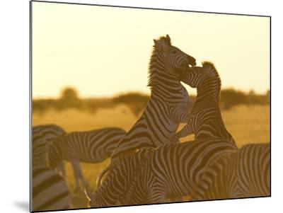 Burchell's Zebras, Equus Bruchelli, Grazing and Fighting-Roy Toft-Mounted Photographic Print