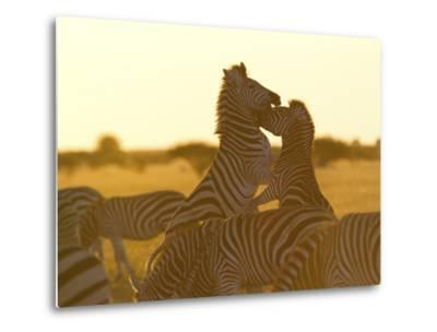 Burchell's Zebras, Equus Bruchelli, Grazing and Fighting-Roy Toft-Metal Print