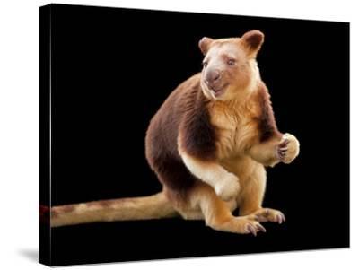 An Endangered Goodfellow's Tree-Kangaroo, Dendrolagus Goodfellowi-Joel Sartore-Stretched Canvas Print