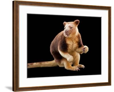 An Endangered Goodfellow's Tree-Kangaroo, Dendrolagus Goodfellowi-Joel Sartore-Framed Photographic Print
