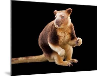 An Endangered Goodfellow's Tree-Kangaroo, Dendrolagus Goodfellowi-Joel Sartore-Mounted Photographic Print