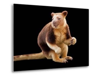 An Endangered Goodfellow's Tree-Kangaroo, Dendrolagus Goodfellowi-Joel Sartore-Metal Print