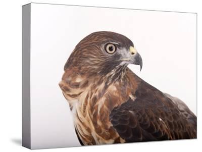 A Broad-Winged Hawk, Buteo Platypterus-Joel Sartore-Stretched Canvas Print