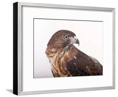 A Broad-Winged Hawk, Buteo Platypterus-Joel Sartore-Framed Photographic Print
