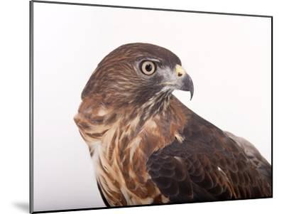 A Broad-Winged Hawk, Buteo Platypterus-Joel Sartore-Mounted Photographic Print