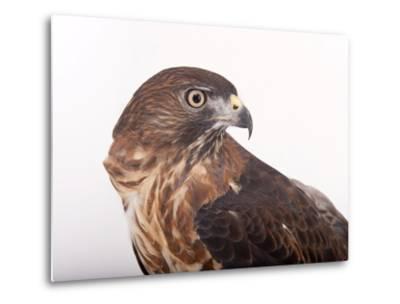 A Broad-Winged Hawk, Buteo Platypterus-Joel Sartore-Metal Print