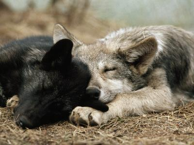 Two Sleeping Gray Wolf Pups-Jim And Jamie Dutcher-Framed Photographic Print