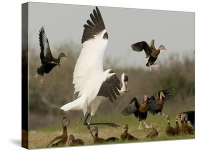 A Whooping Crane Scatters Black-Bellied Whistling-Ducks-Klaus Nigge-Stretched Canvas Print