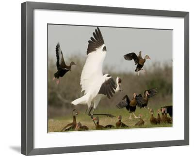 A Whooping Crane Scatters Black-Bellied Whistling-Ducks-Klaus Nigge-Framed Photographic Print