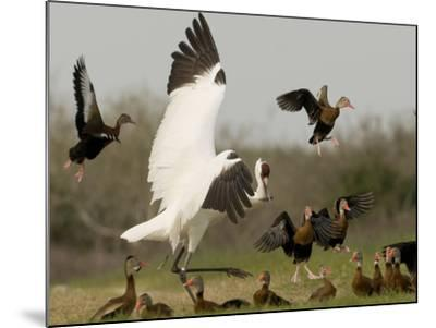 A Whooping Crane Scatters Black-Bellied Whistling-Ducks-Klaus Nigge-Mounted Photographic Print