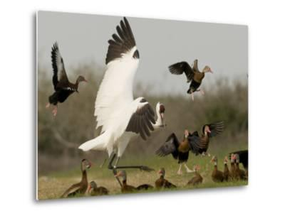 A Whooping Crane Scatters Black-Bellied Whistling-Ducks-Klaus Nigge-Metal Print
