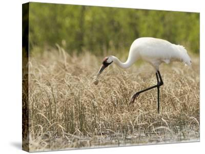 Whooping Cranes Male Returns Empty Egg Shell to Nest-Klaus Nigge-Stretched Canvas Print