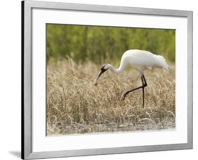 Whooping Cranes Male Returns Empty Egg Shell to Nest-Klaus Nigge-Framed Photographic Print