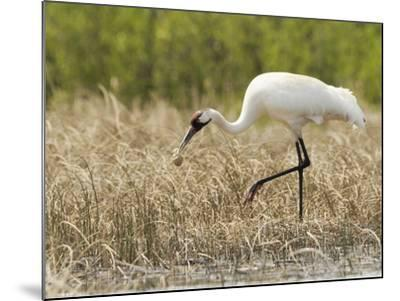 Whooping Cranes Male Returns Empty Egg Shell to Nest-Klaus Nigge-Mounted Photographic Print