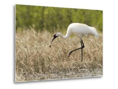 Whooping Cranes Male Returns Empty Egg Shell to Nest-Klaus Nigge-Metal Print