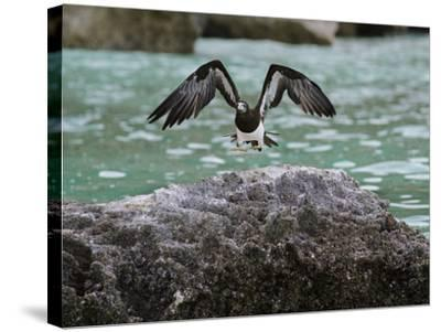 A Brown Booby Lands on the Western Coast of Socotra Island-Michael Melford-Stretched Canvas Print