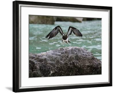 A Brown Booby Lands on the Western Coast of Socotra Island-Michael Melford-Framed Photographic Print