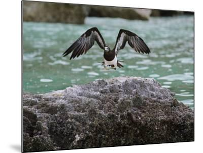 A Brown Booby Lands on the Western Coast of Socotra Island-Michael Melford-Mounted Photographic Print
