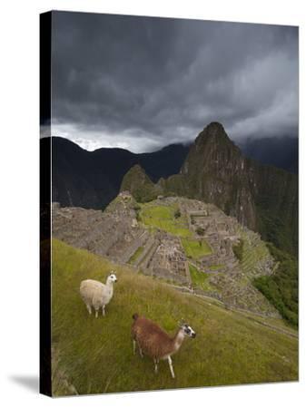 Llamas Walk around at Machu Picchu-Michael Melford-Stretched Canvas Print