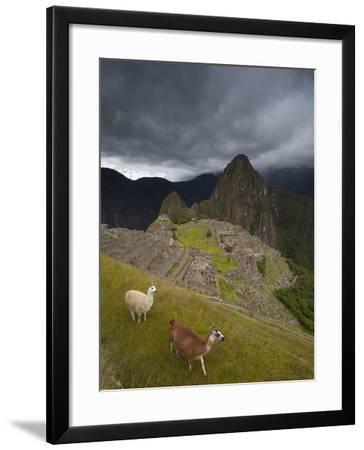 Llamas Walk around at Machu Picchu-Michael Melford-Framed Photographic Print