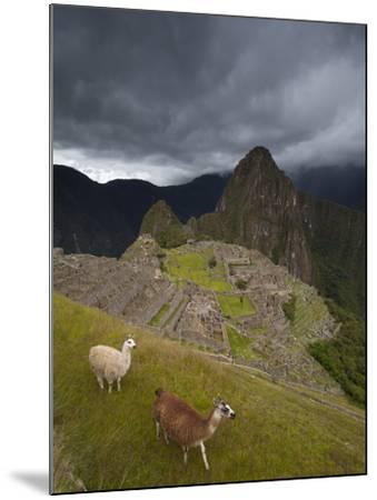 Llamas Walk around at Machu Picchu-Michael Melford-Mounted Photographic Print