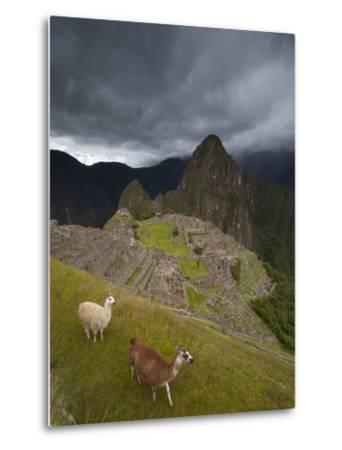 Llamas Walk around at Machu Picchu-Michael Melford-Metal Print
