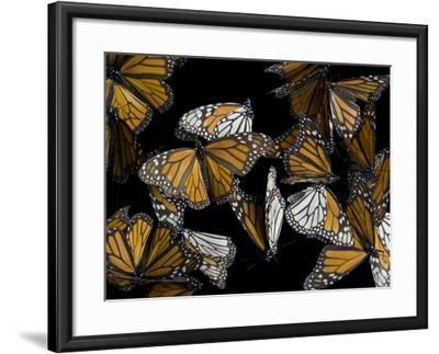 A Monarch Butterfly, Danaus Plexippus-Joel Sartore-Framed Photographic Print