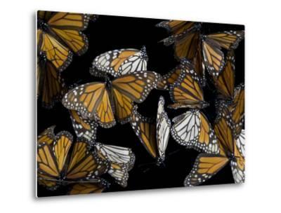 A Monarch Butterfly, Danaus Plexippus-Joel Sartore-Metal Print