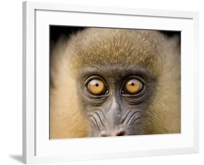 A Captive Juvenile Mandrill, Mandrillus Sphinx-Joel Sartore-Framed Photographic Print