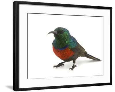 A Male Northern Double-Collared Sunbird, Nectarinia Preussi-Joel Sartore-Framed Photographic Print