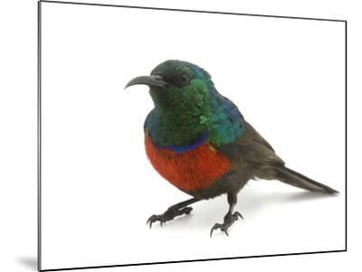 A Male Northern Double-Collared Sunbird, Nectarinia Preussi-Joel Sartore-Mounted Photographic Print