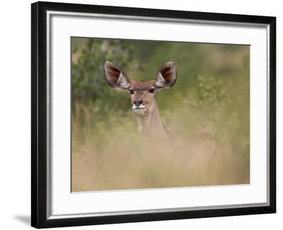 Portrait of a Greater Kudu, Tragelaphus Strepsiceros-Roy Toft-Framed Photographic Print