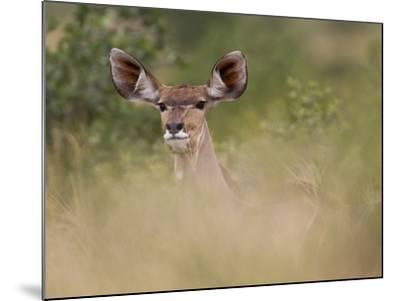 Portrait of a Greater Kudu, Tragelaphus Strepsiceros-Roy Toft-Mounted Photographic Print