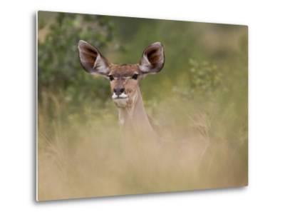 Portrait of a Greater Kudu, Tragelaphus Strepsiceros-Roy Toft-Metal Print