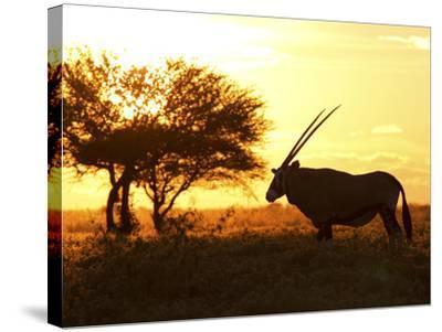 Silhouetted Gemsbok, Oryx Gazella, and Tree at Sunrise-Roy Toft-Stretched Canvas Print