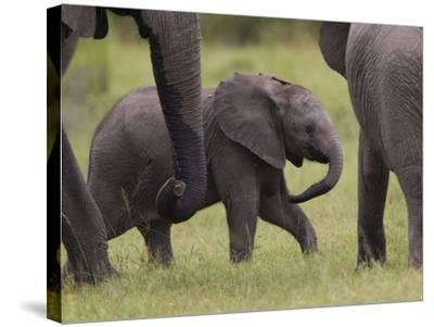 A Young African Elephant, Loxodonta Africana, Among Larger Adults-Roy Toft-Stretched Canvas Print