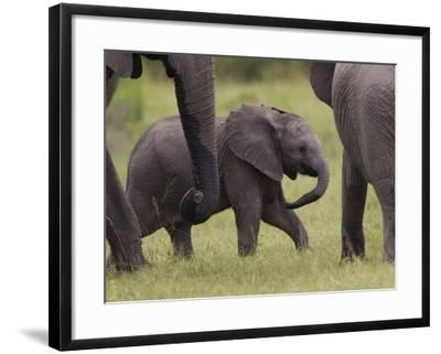 A Young African Elephant, Loxodonta Africana, Among Larger Adults-Roy Toft-Framed Photographic Print