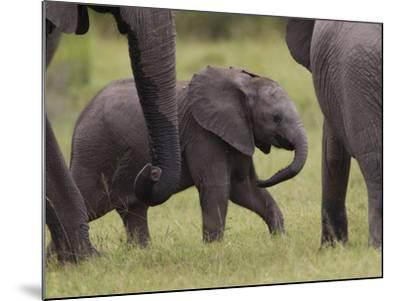 A Young African Elephant, Loxodonta Africana, Among Larger Adults-Roy Toft-Mounted Photographic Print