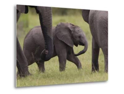 A Young African Elephant, Loxodonta Africana, Among Larger Adults-Roy Toft-Metal Print
