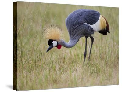 Portrait of a Grey-Crowned Crane, Balearica Regulorum-Roy Toft-Stretched Canvas Print