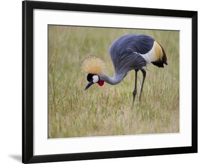 Portrait of a Grey-Crowned Crane, Balearica Regulorum-Roy Toft-Framed Photographic Print