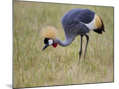 Portrait of a Grey-Crowned Crane, Balearica Regulorum-Roy Toft-Mounted Photographic Print