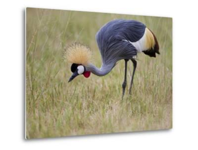 Portrait of a Grey-Crowned Crane, Balearica Regulorum-Roy Toft-Metal Print
